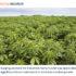 Industrial Hemp Market To Reach USD 14.81 Billion By 2027 | Botanical Genetics LLC, HempMeds Brasil, Terra Tech Corp, Industrial Hemp manufacturing | - Medgadget
