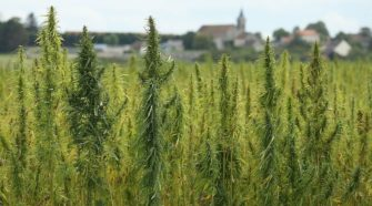 Industrial Hemp Production Kick-Started In Miami-Dade County - CBS Miami