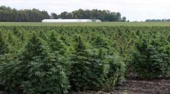 Stenzel Farms planted 270 acres of industrial hemp this year. (Tim Middagh / The Globe)