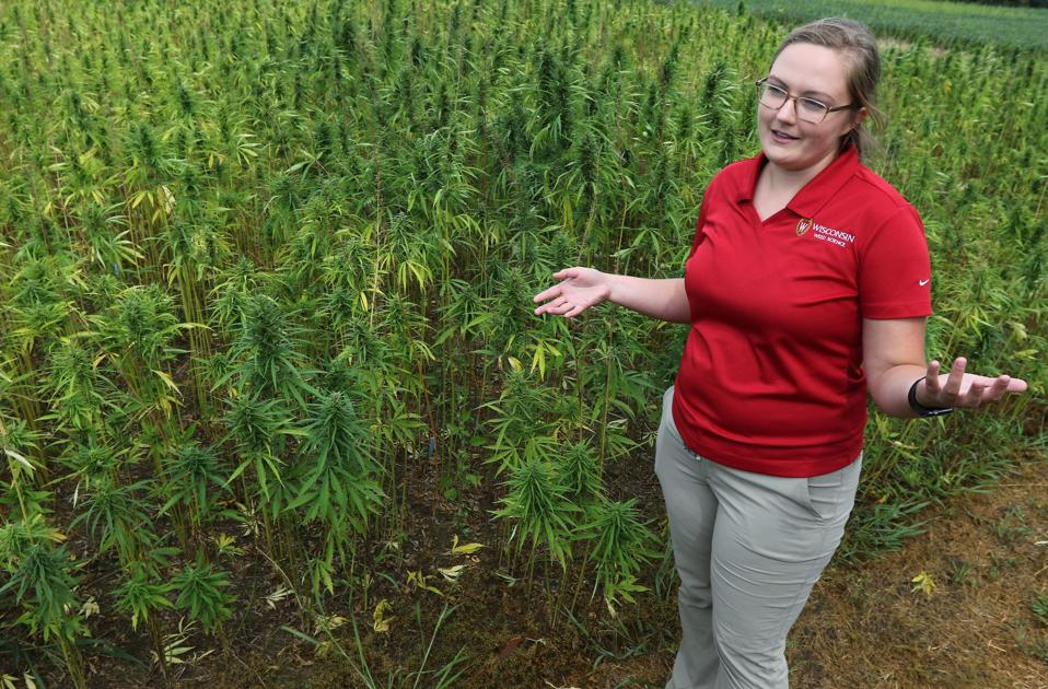 Industrial hemp growing well in test field in Chippewa Falls - Leader-Telegram