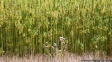 Industrial hemp licensing plans approved for LA, OH, NJ - CBS19 News