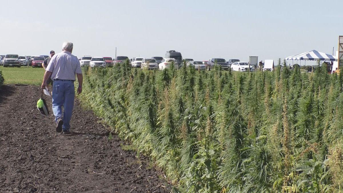 Industrial hemp test plot new to Farmfest, along with new hemp association - KEYC