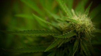 Interest in Hemp Growing in Different Directions | AG - KMAland