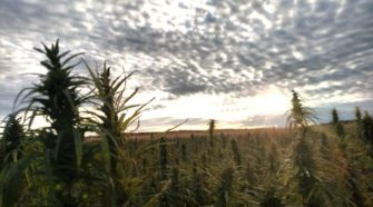 Iowa's ag department issuing hemp licenses, seed permits - Carroll Daily Times Herald
