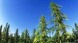 Is hemp really a green miracle plant? - Deutsche Welle