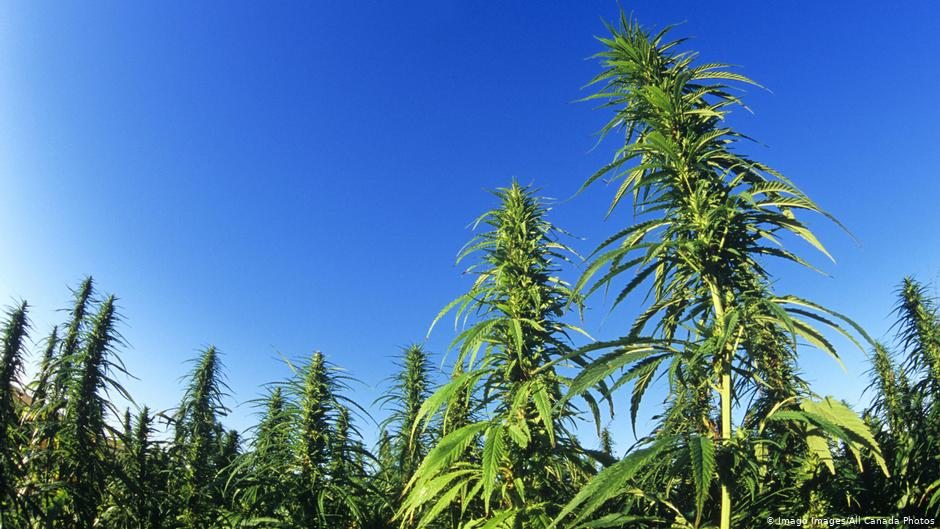 Is hemp really a green miracle plant? - Deutsche Welle