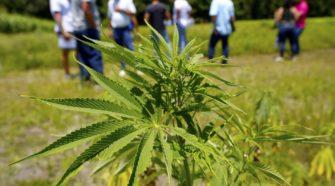 It is marijuana or legal hemp? State drops minor cases - Gainesville Sun