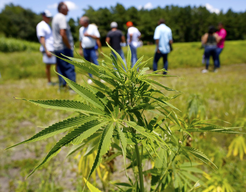 It is marijuana or legal hemp? State drops minor cases - Gainesville Sun