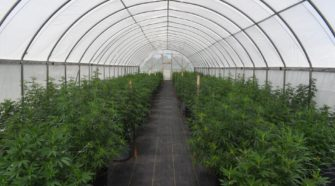 K-State plants industrial hemp test plots | Education - Manhattan Mercury