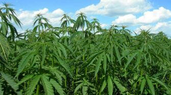 K-State researchers prepare for first year of industrial hemp test crops