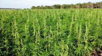 KDA develops draft of regulations for Commercial Industrial Hemp - KSN-TV