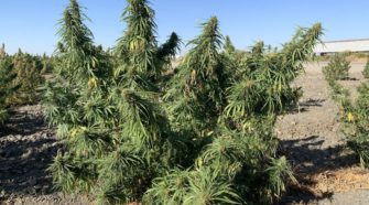 Kings County growers ready for hemp harvest, what the public should know - Hanford Sentinel