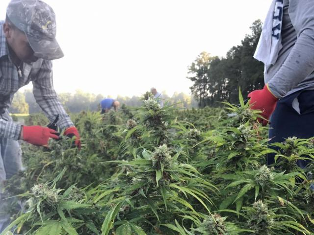 Law enforcement fears NC's effort to boost hemp industry could essentially legalize marijuana - WRAL.com