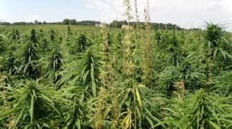 Learn about industrial hemp on Wednesday, Oct. 2 - pinecitymn.com