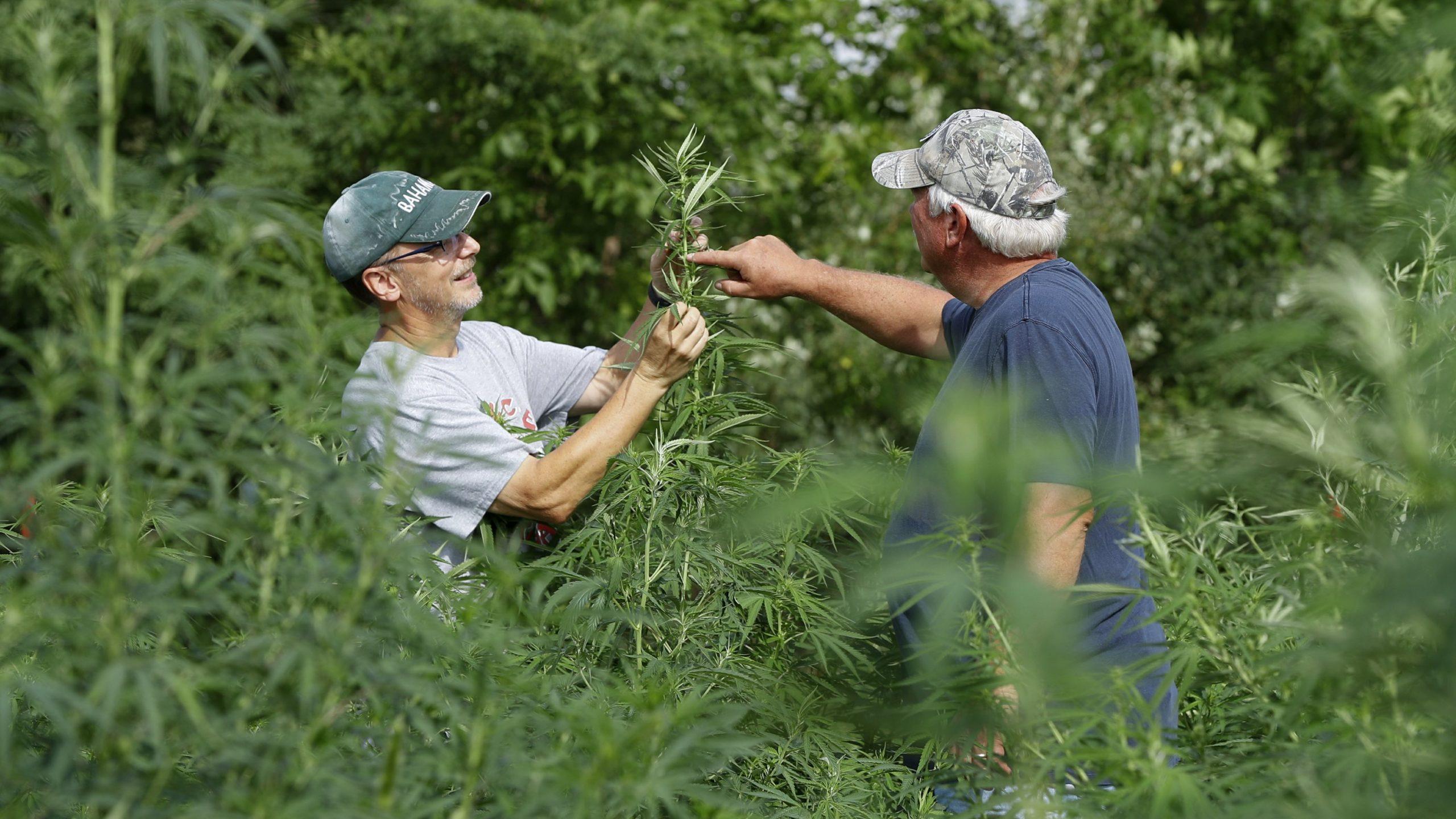 Legal hemp, CBD stir more farmers to grow unfamiliar crop - The Associated Press