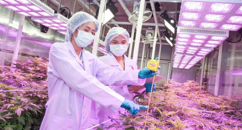 Letting companies grow hemp commercially will create a monopoly: BioThai - The Nation