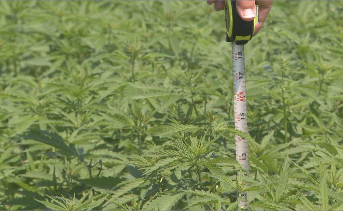 Local Reaction to 2nd Year of Hemp Growing - WSAU News