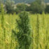 Local conference coming up to answer questions about hemp - KFDX - Texomashomepage.com