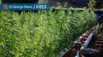 Locally owned farm grows first crop of industrial hemp in Rockville - St George News