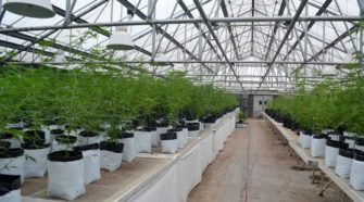 Midwest Hemp Farm growing in Waseca - MDJOnline.com
