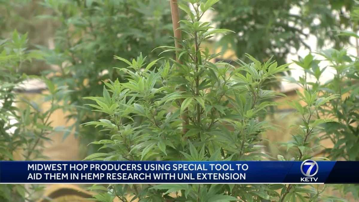 Midwest Hop Producers using special tool to aid in hemp research - KETV Omaha