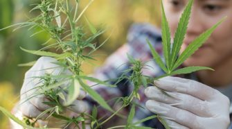 Midwestern Hemp Seed Answers Questions on Good Genetics - Shepherd Express