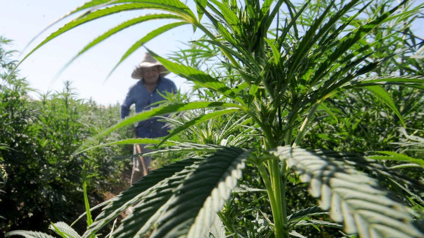 Moorpark City Council adopts urgent 45-day industrial hemp ban - VC Star