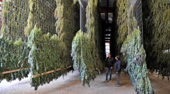 Most Southern Oregon hemp is heading out of state - Ashland Tidings