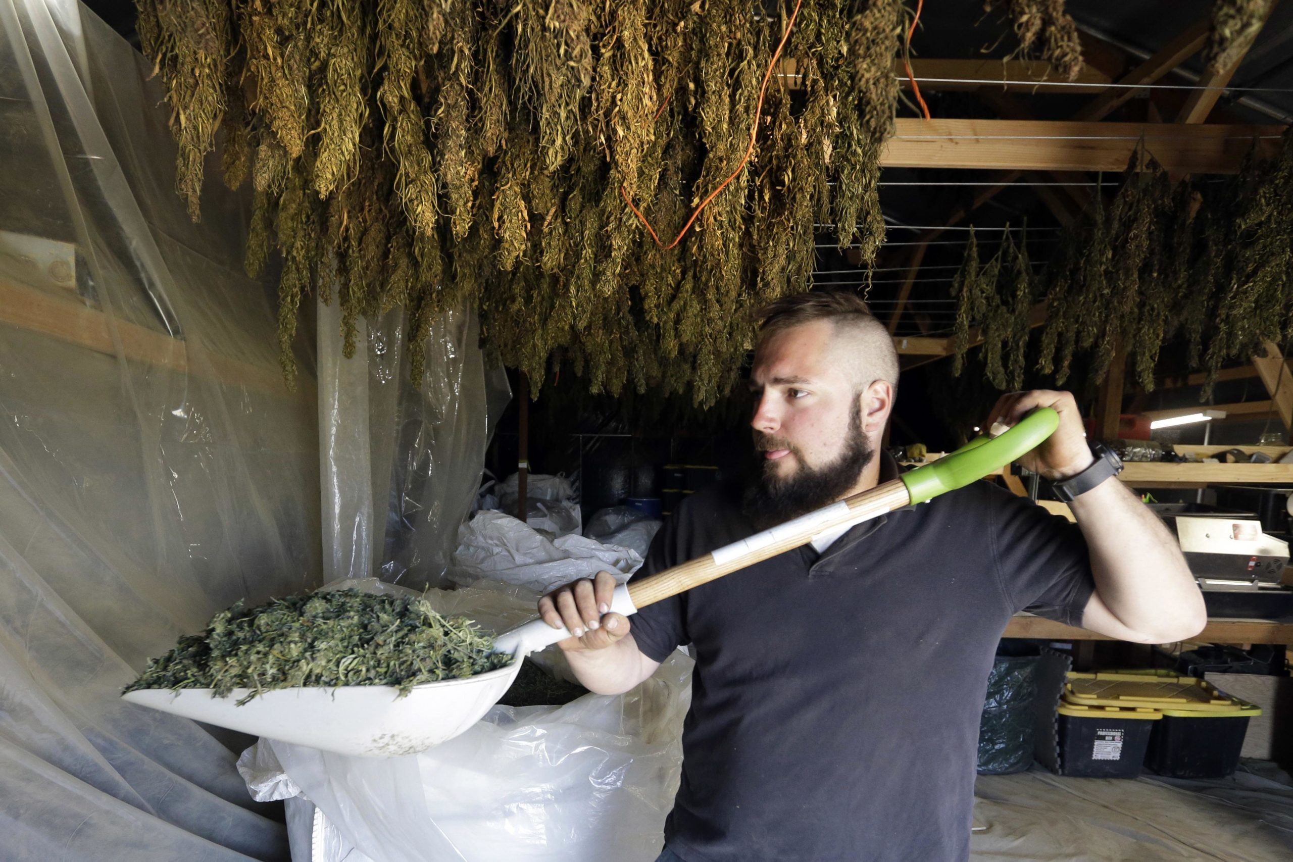NYs hemp boom turned into an early bust - Hornell Evening Tribune