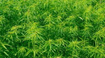 Napa County imposes industrial hemp moratorium | Local News - Napa Valley Register