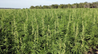 Native American Hemp Growers Hope to Cash In on Super Plant - VOA News