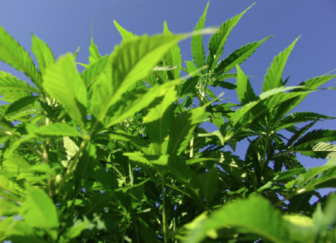 New Mexico Pledges $400000 To Las Cruces Hemp Firm - KRWG