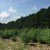 Hemp field under the North Carolina blue sky. Photo: Kay Whatley