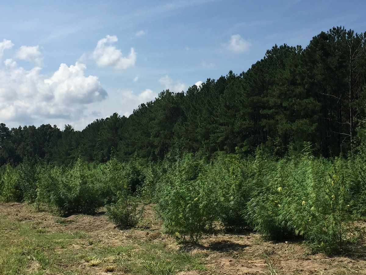 Hemp field under the North Carolina blue sky. Photo: Kay Whatley