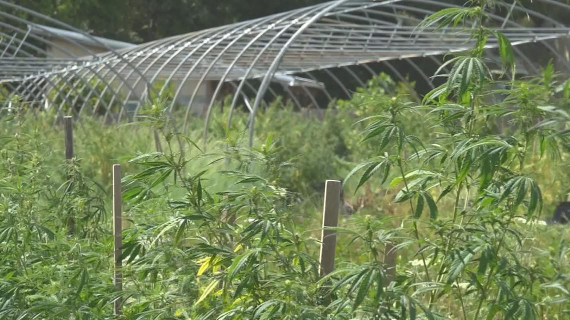 No cap on 2020 hemp farming season in SC - WLTX.com