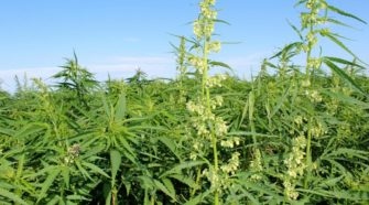 Industrial hemp at the NDSU Langdon Research Extension Center. NDSU Photo