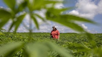 Ohio pursuing hemp as new cash crop - Canton Repository