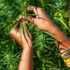 One Among Hemp's 25000 Uses? Diversifying Commercial Agriculture - Sierra Magazine