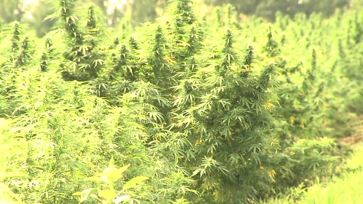 Piedmont Triad poised to be major player in hemp production in North Carolina - WGHP FOX 8 Greensboro