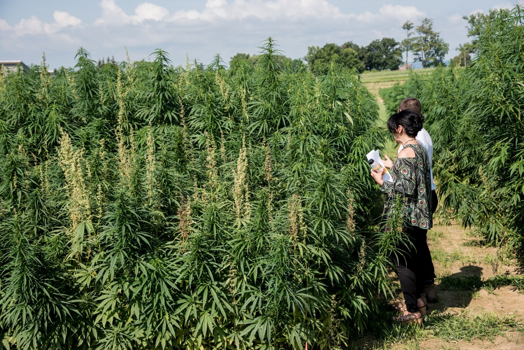 Driven by work done by CALS' School of Integrative Plant Science, Cornell has long been at the forefront of hemp research.