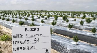 Polk farm trades citrus for hemp in state pilot project - The Ledger