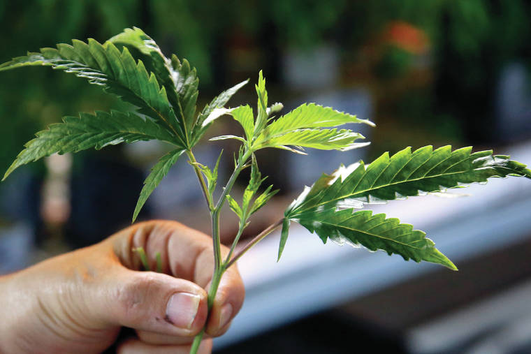 Pot, hemp bills advance - Hawaii Tribune Herald