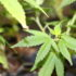 Raising hemp for CBD is like 'the Wild West,' grower says - AG Week