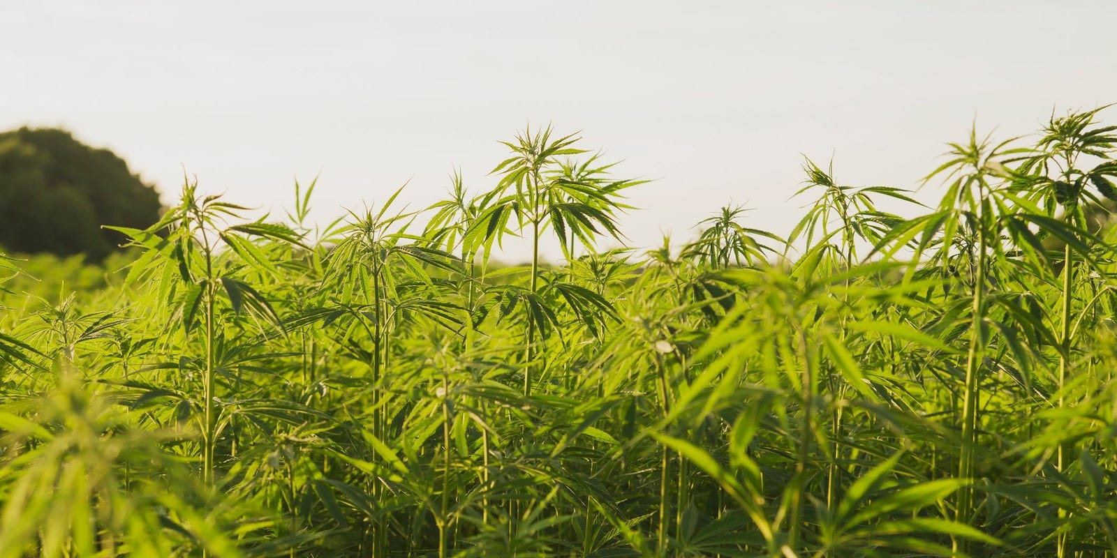 Rideout: Hemp producers encounter growing pains, uncertainty - The Gleaner