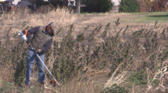 Rookie farmer gets start with industrial hemp - KEYC