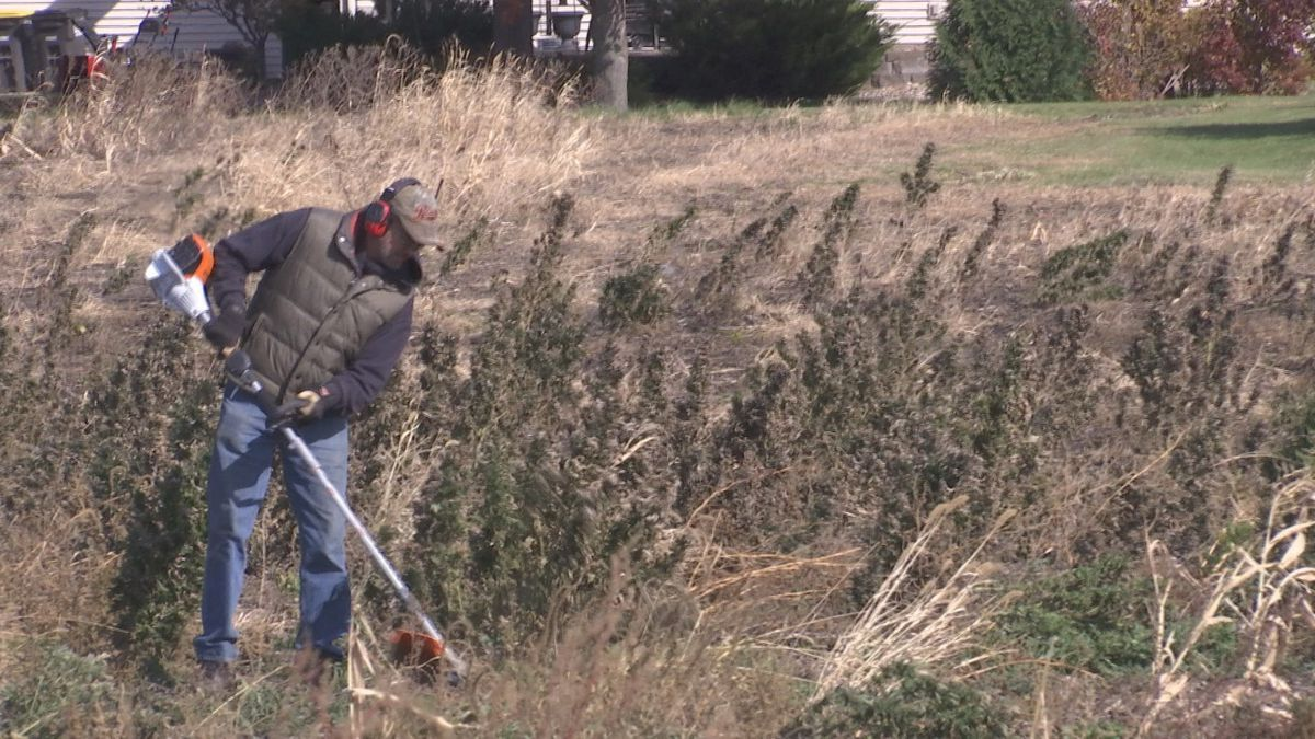 Rookie farmer gets start with industrial hemp - KEYC