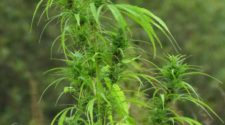 Seneca Nation to enter hemp growing industry with USDA approval - Salamanca Press