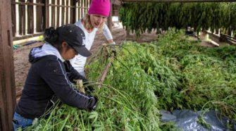 'Some pretty good-looking flowers': Growing hemp in Hatfield - GazetteNET