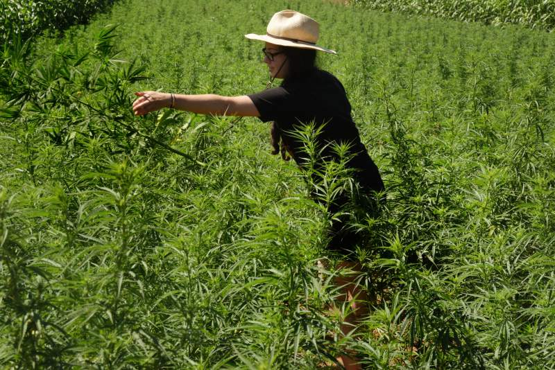 Sonoma County Planning Commission approves rules to govern hemp crop, paving way for legal industry - North Bay Business Journal