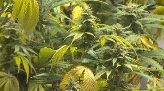 South Dakota lawmakers look to legalize industrial hemp - KCAU 9